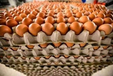 Eggs for sell